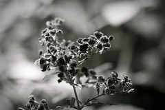 (*Qatar) Tags: flowers blackandwhite bw plants white plant black flower macro nature bokeh