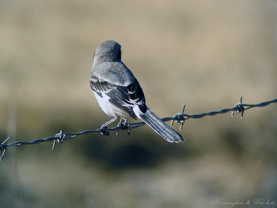Laggerhead Shrike07091-3