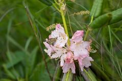 蜜を吸うチョウとエゾシャクナゲ