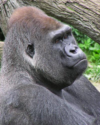 JOMO; a western lowland silverback gorilla.