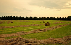 207/365 - Making Hay (buzzstuff) Tags: field farm hey hay bales montgomerycounty orangysky royersfordpa 2009yip