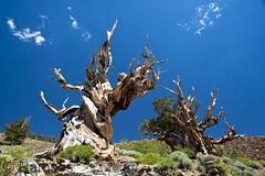 Grannenkiefer (Ramses 2) Tags: california travel blue summer sky usa brown tree green nature rock reisen rocks sommer natur himmel bluesky grün braun blau äste stein ste baum blauerhimmel tourismus kalifornien felsen schulmangrove grn pinuslongaeva grannenkiefer