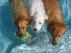 CPS Pool 3 (PolothePup) Tags: dogs pool swim goldenretriever greatpyrenees
