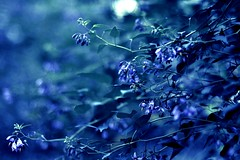 Rapsody in Blue (Double With Cream (absent...sorry!)) Tags: blue nature beautiful mood bokeh dreamy hbm singintheblues rapsody theunforgettablepictures
