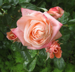 Sonia, Roses in my backyard