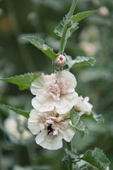 Parc Floral - Vincennes-39 (MissDogo) Tags: paris macro fleur closeup animaux parc abeilles insectes vincennes parcfloral bourdon proxyphoto hym hyménoptères hymnoptres