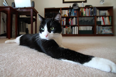 Oliver Elongated by Wide Angle Lens (Mr.TinDC) Tags: cats pets animals oliver tuxedocats kitties felines moggy blackandwhitecats blackwhitecats