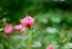 Sweetest (Pkamo@Tai) Tags: trip travel pink flowers roses green nature beautiful thailand tour fresh thai chiangmai   puykamo