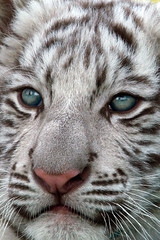 Bandit (jennifernikon) Tags: cub nc whitetiger bigcatrescue cnpa rockwellnc tigerworld babywhitetiger