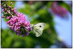 Large White Butterfly (Donna JW) Tags: flowers summer buddleia butterflies insects superhero picnik largewhite pierisbrassicae gamewinner herowinner pregamewinner pregamesweepwinner