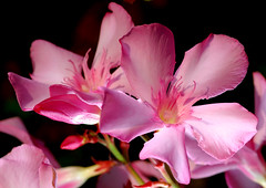 pink oleander (buffalo_jbs01) Tags: d200 105mm goldstaraward wonderfulworldofflowers theperfectpinkdiamond flickrflorescloseupmacros
