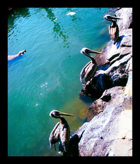 Mingle (Lovin Sound) Tags: ocean travel pelicans nature animals digital mexico harbor seal ensenada