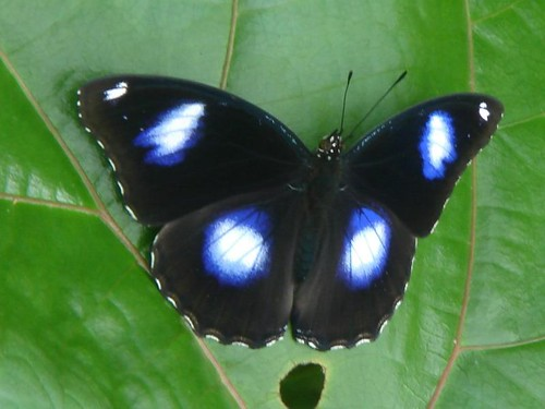 male danaid eggfly - see my iridescent blue spots