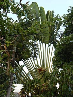 bananiers et fils electriques à Cancun.jpg