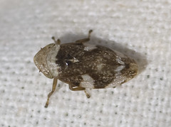 Common Froghopper dorsal (lofaesofa) Tags: uk england english insect britain british essex thurrock hemiptera stanfordlehope philaenusspumarius taxonomy:class=insecta taxonomy:kingdom=animalia taxonomy:phylum=arthropoda taxonomy:order=hemiptera taxonomy:genus=philaenus aphrophoridae taxonomy:family=aphrophoridae taxonomy:species=spumarius taxonomy:binomial=philaenusspumarius stanfordmarshes