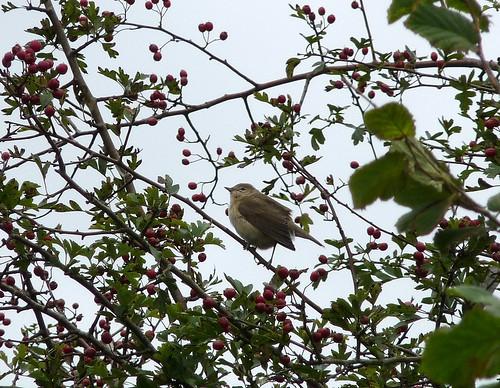 11422 - Garden Warbler