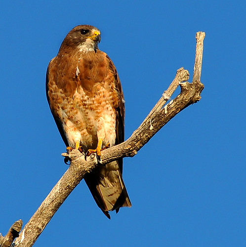 Hawk by popeyes pix.