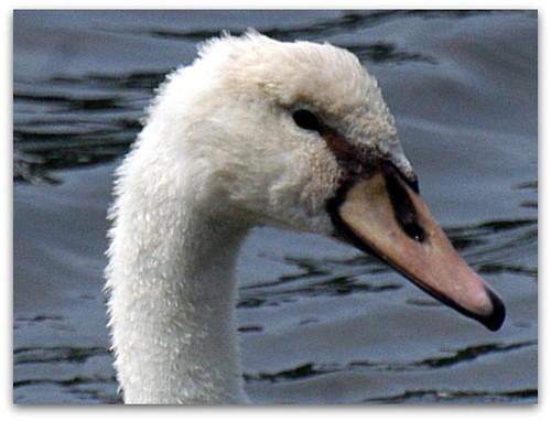 imm swan profile