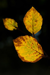 Autumn Beech Leaves (Nick Landells) Tags: autumn nikkor50mmf18 beech beechleaves beechleaf d80
