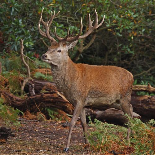 red deer stag looking for fallen acorns