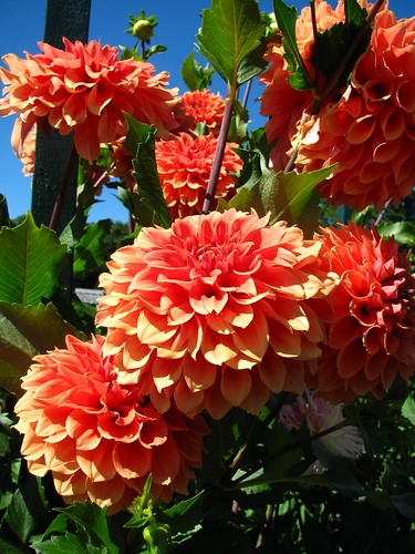 I love Dahlias