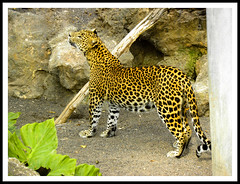 Leopardo (Vte.Moncho) Tags: valencia fauna cat zoo leopardo leopard felino animales bioparc