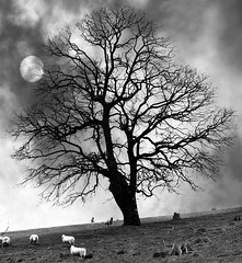 Talley Sheep (adedavies) Tags: uk trees blackandwhite tree nature wales landscape countryside nikon carmarthenshire sheep unitedkingdom cymru talley d300 adriandaviesphotography