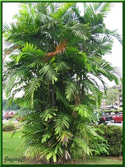 Ptychosperma macarthurii (Cluster Palm, Macarthur Palm), in the neighbourhood