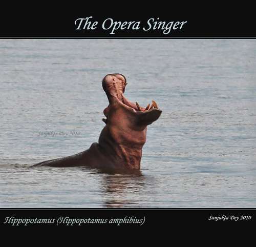 Hippopotamus (Hippopptamus amphibius), Selous Game Reserve, Tanzania, Africa - 01.08.10