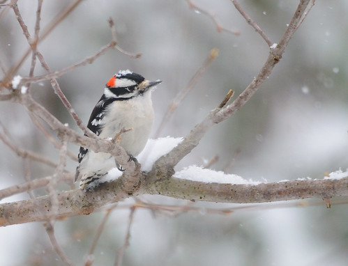 Downy Woodpecker (Picoides pubescens) (by NikonMizar)