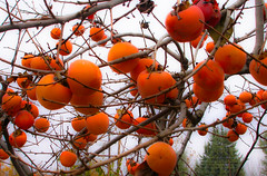 Hanging on! (Faddoush) Tags: orange tree fall nature fruit nikon persimmons coolpix colourful 4500 hangingon faddoush