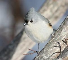 Titmouse (v4vodka) Tags: winter bird animal wildlife longisland birdwatching tuftedtitmouse otw paridae mortonrefuge thewonderfulworldofbirds slbperching