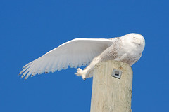 Snowy Stretching (Ralf Nowak) Tags: ontario canada bird nature birds animal fauna nikon snowy wildlife hamilton sigma raptor owl birdofprey stoneycreek bubo snowyowl ptak ptaki sowa sigmalens d40 buboscandiacus scandiacus sowy niena nikond40 avianexcellence thewonderfulworldofbirds sowaniena