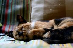 (rosanomauro) Tags: cat chats gatos curitiba felino