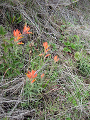 1379S - Indian Paintbrush (archisticks) Tags: hike rodeobeach