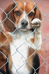 awwwwwwwwwww...now that is a darling face!! (The Dolly Mama) Tags: dog cute beagle face farm weinerts