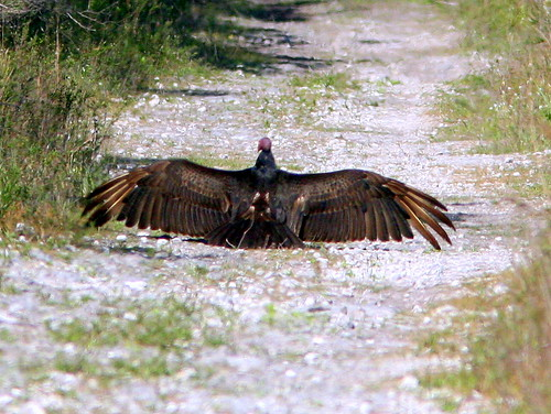 Turkey Vulture Roadblock 20090316