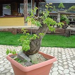 03_350 (Rock Jnior - Terra Bonsai) Tags: primavera bougainvillea bonsai