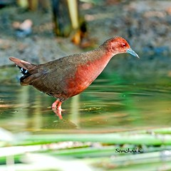 หนูแดง Ruddy-breasted Crake