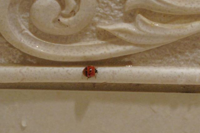 ladybug photo by Adrienne Zwart