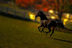 Horse Power (KY-Photography) Tags: ca autumn trees light sunset shadow red portrait horse sun ontario canada green fall nature beauty field grass animal yellow backlight pose leaf raw mare dof power action bokeh ky wildlife guelph silhouettes nikkor khalid equine mane allrightsreserved kal foal uog sidelight friesians explored hbw capturenx nikond80 18135mmf3556g kyphotography equineguelph