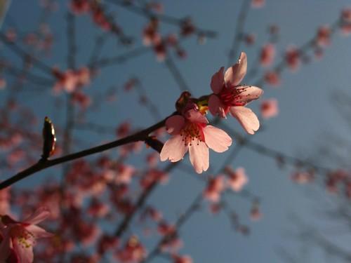 Cherry's Blossom