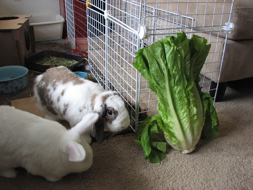 the big lettuce