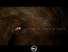 Graceful (ayashok photography) Tags: india elephant eye nikon skin karnataka elephantskin trainingcentre nikonstunninggallery dubareelephantcamp nikond40 ayashok nikor55200mm mrkwh