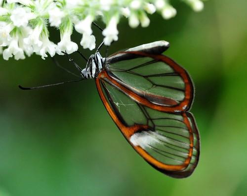 butterflies-Brooksde - 58