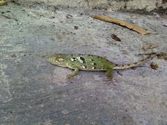 Falso camaleón 4