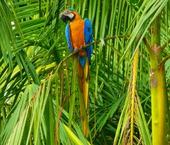 Living Colors Of The Amazon (Butch Osborne) Tags: travel bird peru southamerica lumix amazon rainforest colorful wildlife parrot panasonic explore jungle traveling macaw amazonia mustsee naturesfinest amazonriver explored madeexplore panasonicdmcfz50  overseasadventuretravel bucketlist natureselegantshots