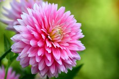 DAHLIA (PHOTOPHOB) Tags: pink dahlia flowers autumn red summer plants plant flores flower color macro rot nature fleur beautiful beauty fleurs germany garden petals spring colorful flickr estate autum stuttgart blossom sommer herbst natur flor pflanze pflanzen blumen zomer verano bloom blomma dalie t blume fiore blomst asteraceae dahlias dalia frhling yaz bloem floro kwiat killesberg dahlie dahlien kvt blomman flowerscolors blomsten lestate bej dalio aplusphoto citrit colourartaward theperfectphotographer goldstaraward excellentsflowers natureselegantshots photophob ahqmacro mimamorflowers awesomeblossoms thebestofmimamorsgroups platinumpeaceaward