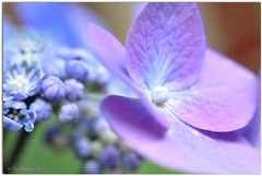 I Have the Summer Blues......NOT! (Tracey Tilson Photography) Tags: life blue friends summer flower macro green love happy 50mm nikon dof purple bokeh lavender happiness explore bloom dreamy laughter hydrangea monday nikkor frontpage lifeisgreat d90