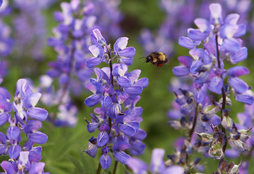 Subalpine Lupine & Bee
